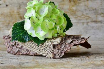 Comment prendre soin d'un hortensia après le flétrissement des fleurs