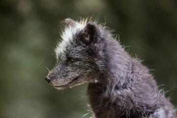 Pourquoi les oreilles d'un renard pointent-elles vers l'avant ?