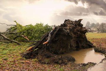 Types d'arbres à racines peu profondes
