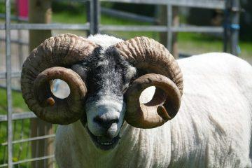 Cadeaux liés aux moutons