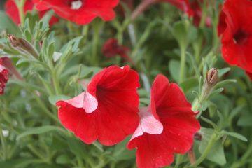 Comment prendre soin des fleurs Pétunia