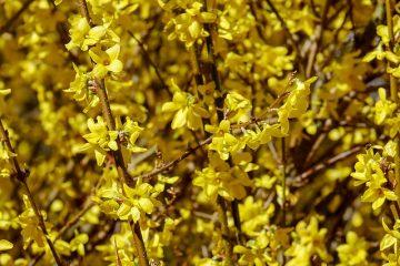 Maladies dans les buissons lilas Plantes