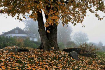 Qu'est-ce qui cause le flétrissement des feuilles de figuier ?