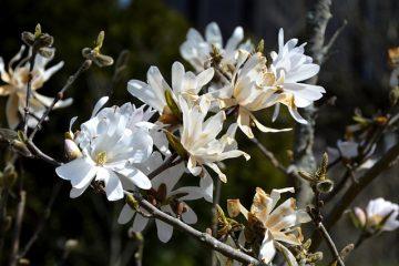 Systèmes radiculaires des arbres Magnolia
