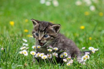 Un remède à domicile pour les dermatites militaires chez le chat