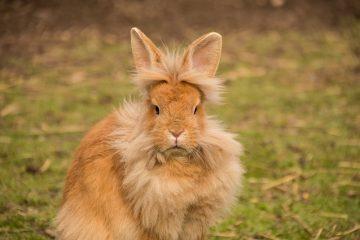 Conseils sur la façon de s'occuper des lapins à tête de lion