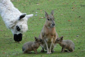 Comment faire des aliments pour bébés sauvages faits maison ou des préparations pour bébés lapins.