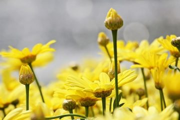 Comment tailler l'Argyranthemum Frutescens Frutescens