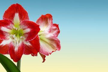 Soins des fleurs d'Amaryllis