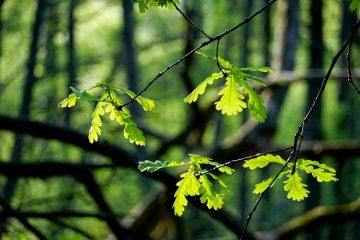 Moisissure blanche sur feuilles de plantes d'intérieur