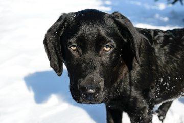 Premiers soins canins pour l'hémorragie rectale chez le chien