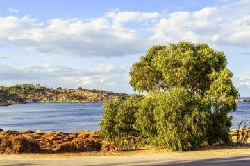Quand tailler les eucalyptus ?