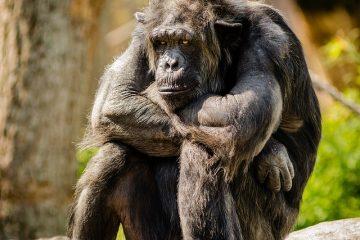 Comment acheter un chimpanzé