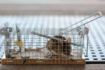 Comment se débarrasser des souris sous les planches de plancher