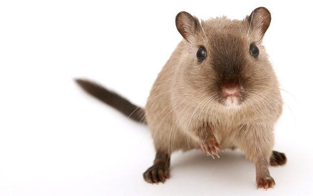 Comment se débarrasser d'une odeur de souris