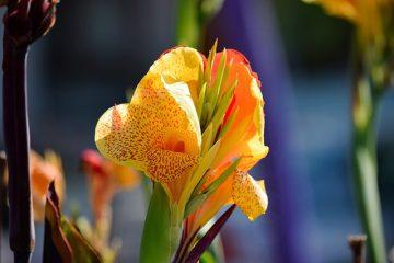 Comment prendre soin des lillies canna lillies