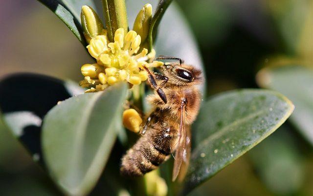 Comment tuer les abeilles mellifères