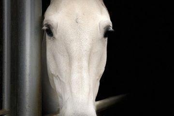 Arthrite du jarret de cheval