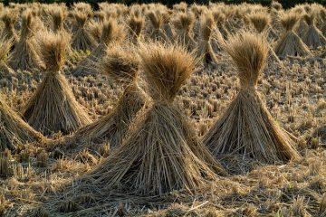 Comment faire pousser des grenadiers à partir de graines de grenadier