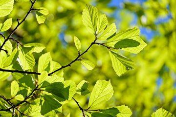 Identification des feuilles en cinq points