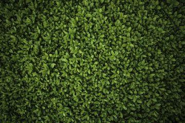 Ligustrum et Marginal Leaf Spotting (taches foliaires marginales)
