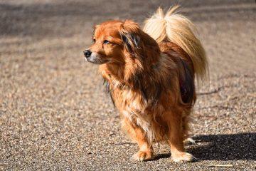 Quelles sont les causes de la perte de cheveux et des taches sur le cou d'un chien ?