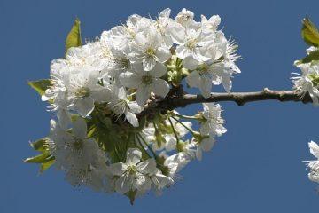 Arbustes à fleurs blanches
