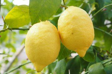 Comment savoir quand un citronnier sur un arbre est mûr ?
