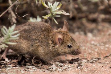 Comment se débarrasser des souris à l'aide de produits ménagers