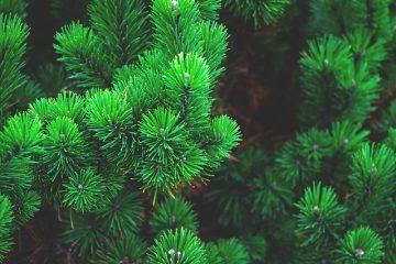 Nains et Evergreens miniatures