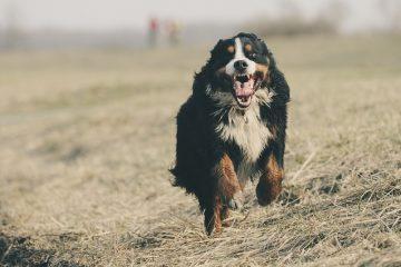 Stades de l'insuffisance cardiaque congestive chez le chien