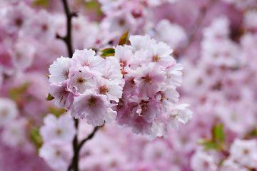 Arbres à fleurs avec épines