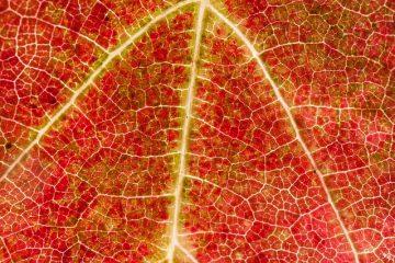 Structure cellulaire des feuilles des plantes