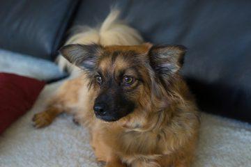 Troubles cutanés sur le coude d'un chien