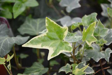 Types de lierre anglais : à feuilles caduques et à feuilles persistantes