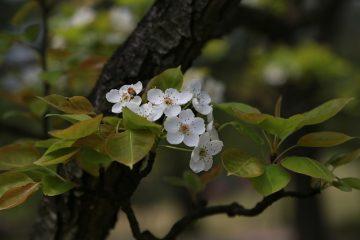 Boucles de feuilles dans les pruniers