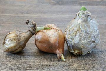Combien de temps faites-vous tremper les graines de jacinthe avant de les planter ?