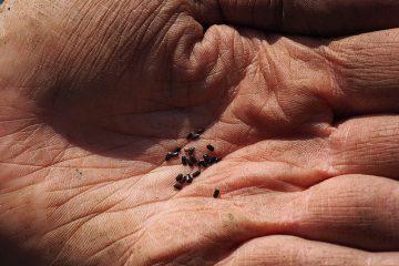 Comment cultiver la lavande à partir de graines