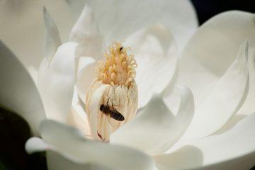Qu'est-ce qui mange un arbre Magnolia ?