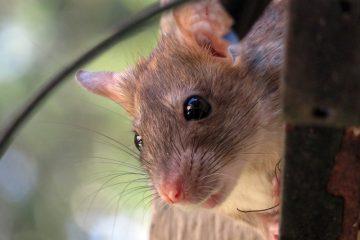 Comment empêcher les rats d'entrer dans les gouttières