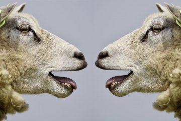 Comment rentabiliser l'élevage ovin