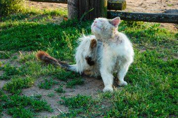 Pourquoi les chats retirent-ils leurs poils en morceaux ?