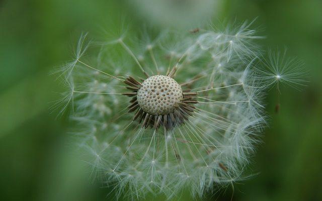 Quand planter des graines d'onagre ?