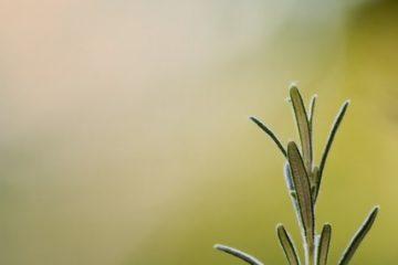 Comment tailler un arbuste de romarinier