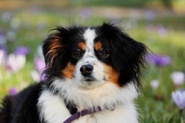 Écoulement oculaire blanc chez le chien