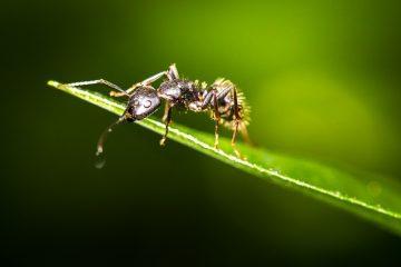Une façon naturelle de se débarrasser des fourmis