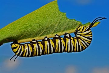 Caterpillars qui mangent des feuilles de myrtilles