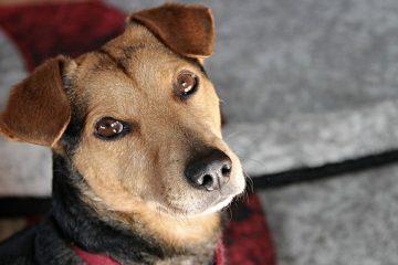 Comment faire en sorte qu'un chien ait un transit intestinal