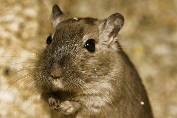 Comportement des hamsters gravides