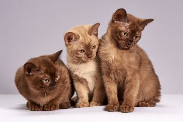 Comment apaiser les démangeaisons de la peau d'un chat ?